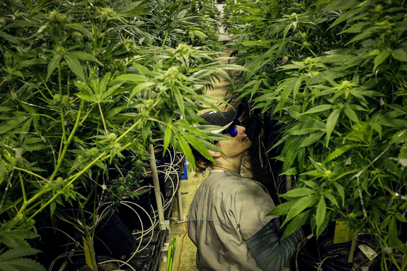 Federal Legalization of Medical Marijuana Could Save Government $3.8 Billion
