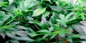 Weed for Weight Loss? | Why Cannabis Strains Is Great For Your Waist!