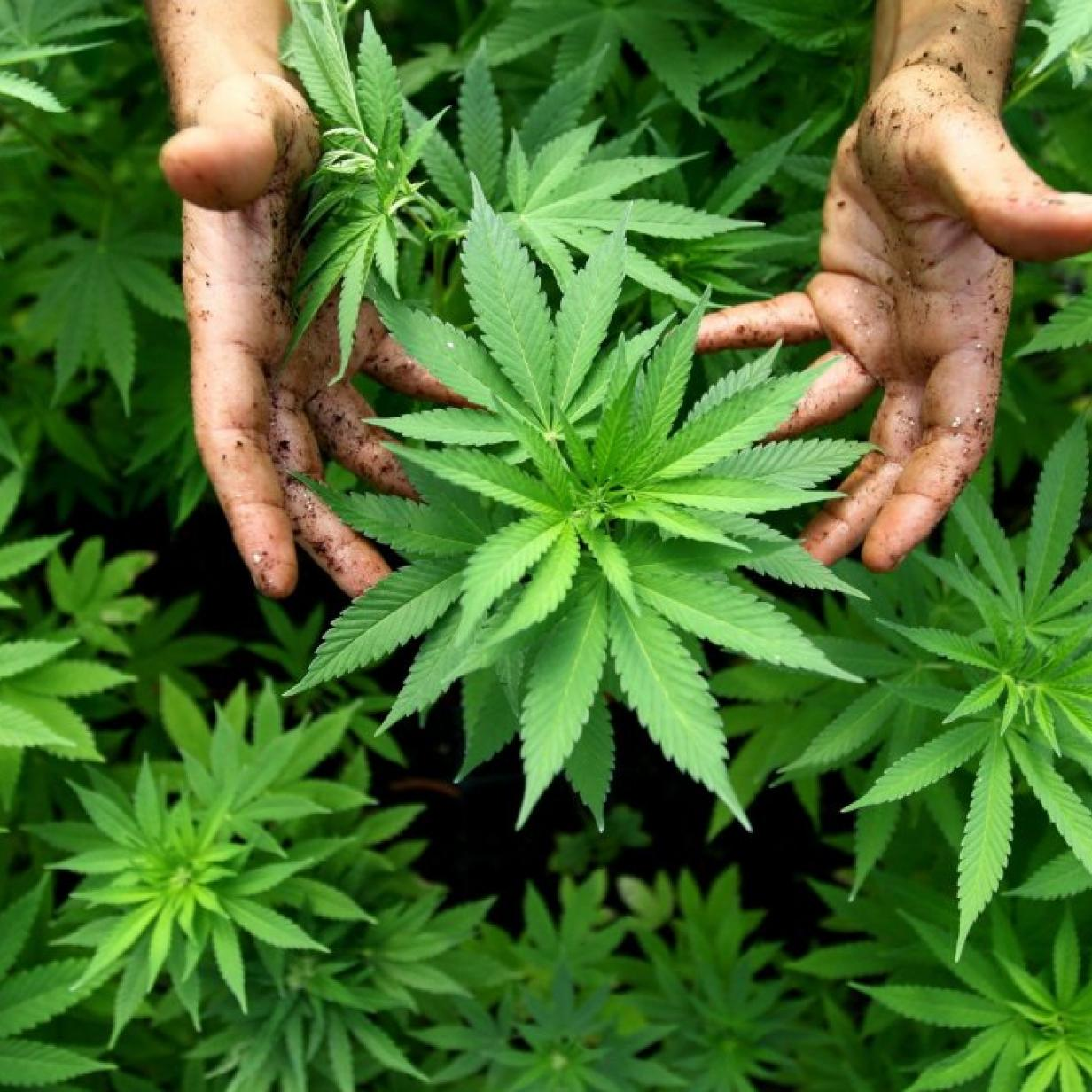 4 NW Cannabis Companies to Watch in 2016